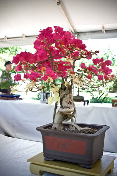 Bonsai Bougainvillia