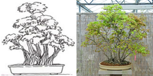 Bonsai estilo multi tronco