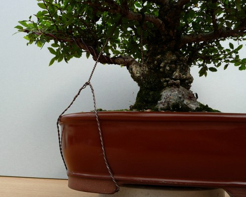 Bonsai com arames